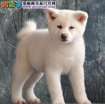 疫苗驱虫齐全的青岛秋田幼犬转让 求好心人士收留幼犬
