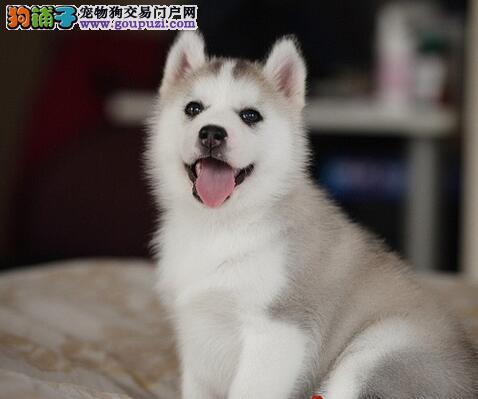 杭州知名犬舍三把火双蓝眼哈士奇幼犬出售 疫苗已做好