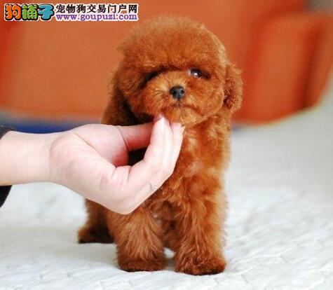 实体狗场低价出售长沙泰迪幼犬 保证血统颜色齐全