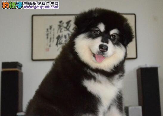 胖嘟嘟的南京阿拉斯加犬找新家 血统纯种专业繁殖