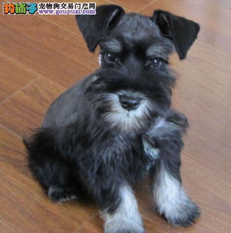 出售多种颜色三亚纯种雪纳瑞幼犬价格美丽非诚勿扰