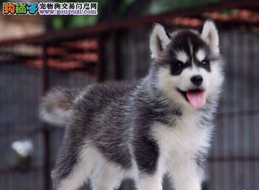 纯种犬繁殖基地 出售 哈士奇幼犬 纯种健康质保
