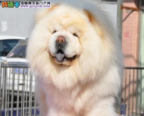 基地直销好品质杭州松狮犬售后保障全面签合同