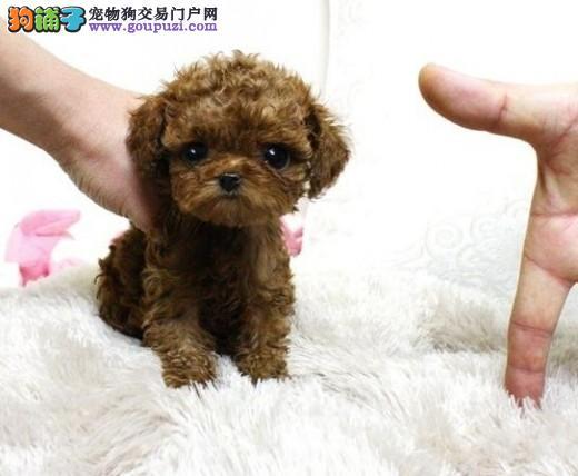 出售纯种玩具茶杯型泰迪熊幼犬 公母都有 多色挑选