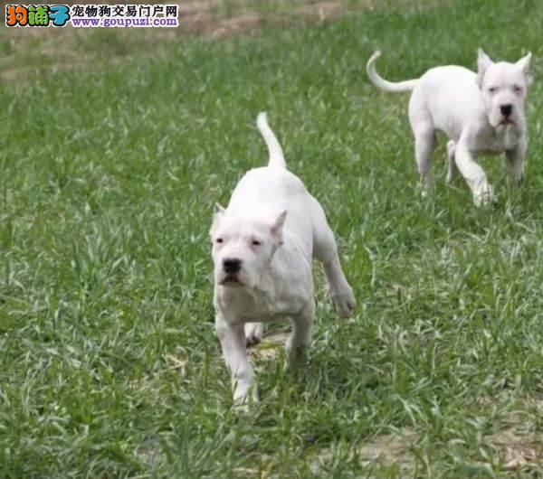 深圳哪里有卖杜高犬,买杜高去哪里买好一点