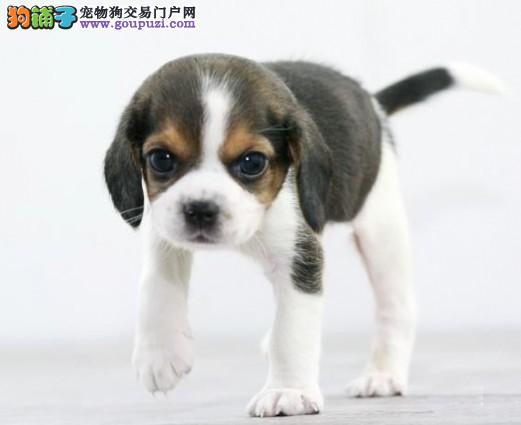 健康可爱纯种漂亮的比格犬