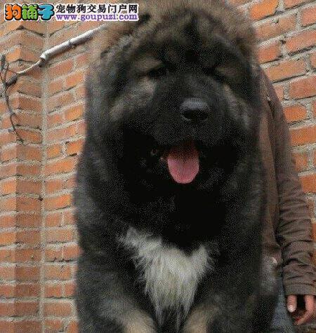 狗场出售健康昆明高加索犬 可签订质保协议保品质