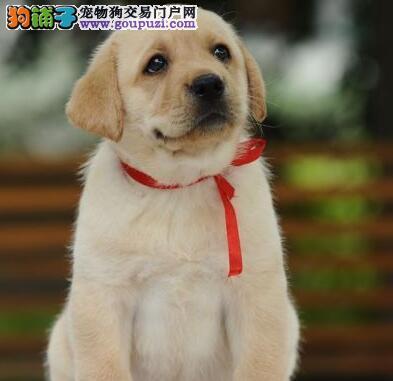 保定出售神犬小七拉布拉多宝宝 可以来犬舍看种犬