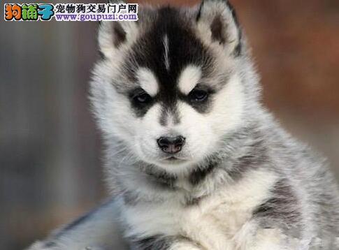 三把火双蓝眼的南昌哈士奇幼犬找新家 狗贩子勿扰