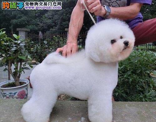 自家繁殖的卷毛南京比熊犬低价出售 赛级品质血统纯正
