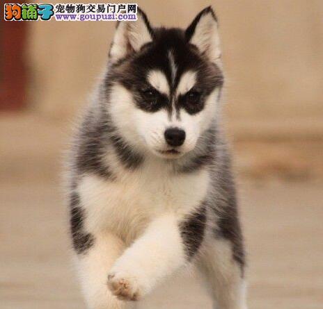 出售双蓝眼三把火杭州哈士奇幼犬 可送货上门挑选