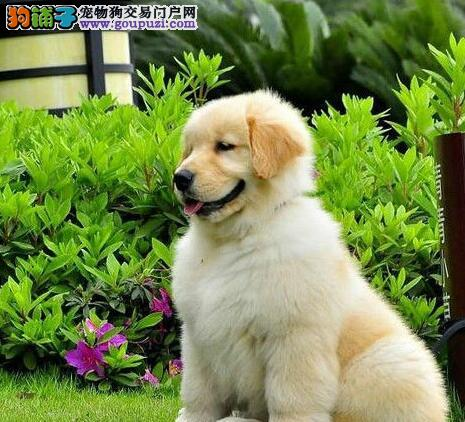 顶级赛级血系的南京金毛宝宝找新家 完美体型纯正血统