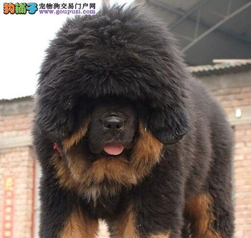 重庆哪里有藏獒幼犬卖,铁包金藏獒好多钱,雪獒好多钱