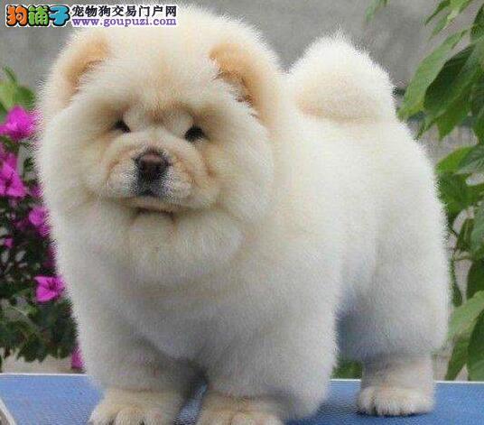 忠厚老实的贵阳松狮犬低价出售中 随时上门看狗选择