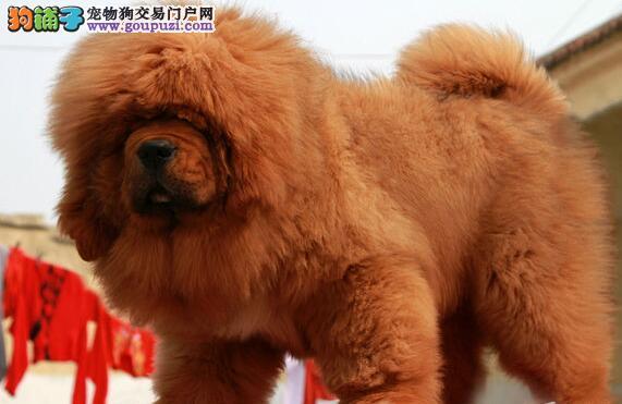凶猛帅气的杭州藏獒幼犬低价出售 疫苗驱虫均已做完