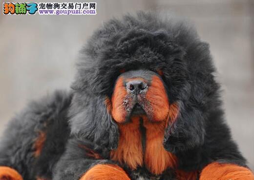 优秀狮王血系济南藏獒低价直销 品质优秀欢迎购买