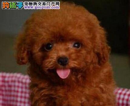 信誉狗场热卖极品韩系血统贵宾犬 济南附近可送上门