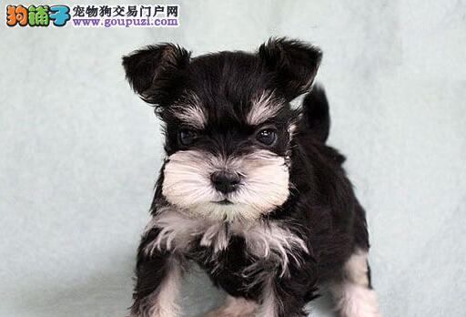 狗场优惠促销精品长沙雪纳瑞颜色纯正质量保证