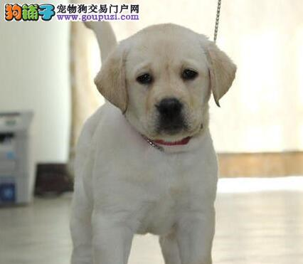 出售纯种优秀合肥拉布拉多犬 颜色多样保证健康有证书