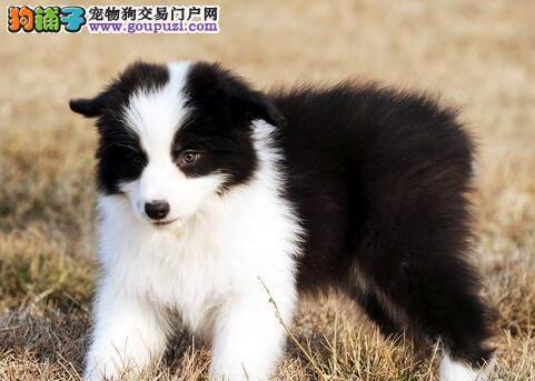 顶级品质边境牧羊犬武汉犬舍低价出售 颜色多公母全
