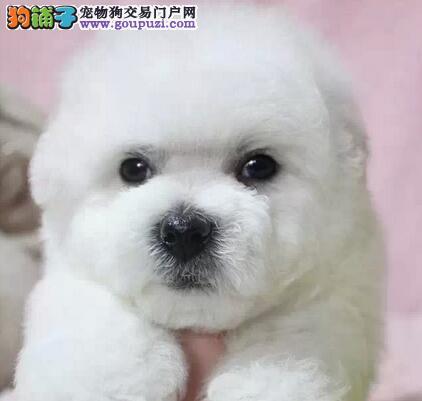 促销极品卷毛渝中比熊犬 可签订购犬合同保证质量