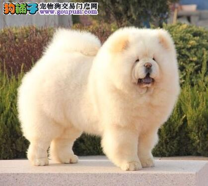 低价出售大毛量紫舌松狮犬 兰州周边购犬可送赠品