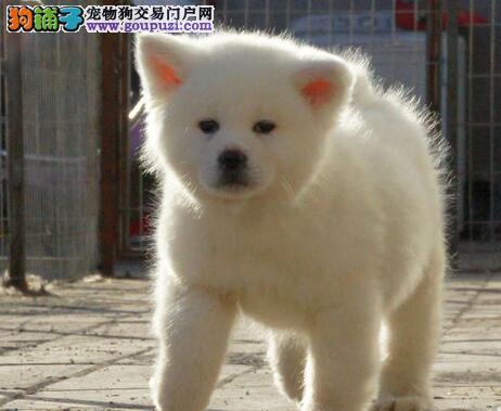 济南专业犬舍繁殖出售日系秋田犬 质量优秀血统纯正
