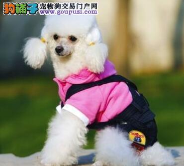上海养殖场直销出售韩系贵宾犬 驱虫疫苗已做好保健康