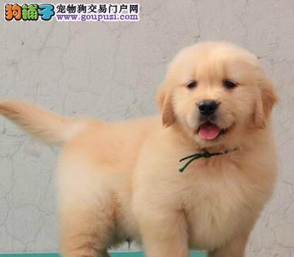 直销健康大骨架金毛犬 武汉附近地区可送到家价格优惠