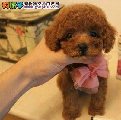 实体店直销精品郑州泰迪犬颜色多只品相好