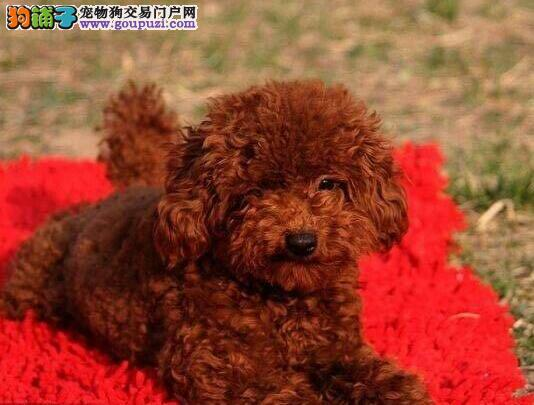 正规基地直销高品质贵宾犬上海市区购犬送狗粮