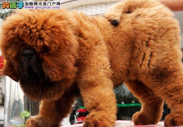 品相极其出众的广州藏獒幼犬找新家 价格合理