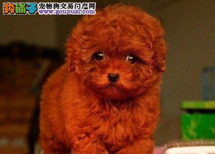 健康泰迪犬幼犬广州犬舍繁育出售签质保协议