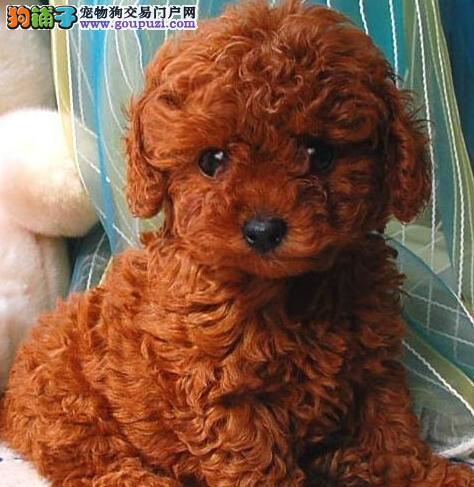 活泼可爱的石家庄泰迪犬出售 诚信为本信誉第一