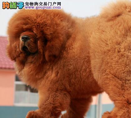 正规獒园出售顶级藏獒上海周边地区可上门看狗