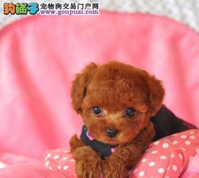 低价转让韩系上海贵宾犬 欢迎上门购买价格优惠