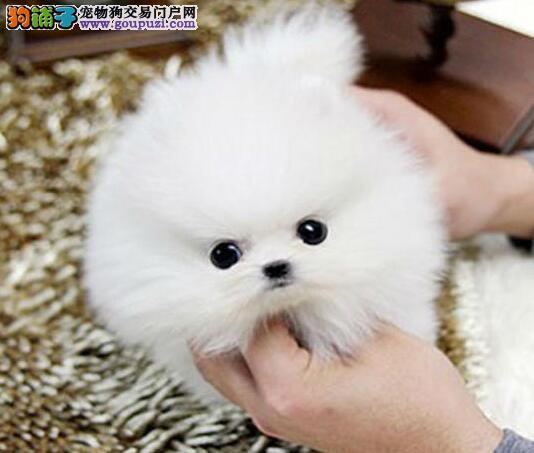 热销纯种血统博美犬 版型多品相好杭州地区有实体店