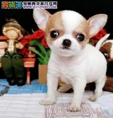 纯种墨西哥吉娃娃幼犬出售 保健康