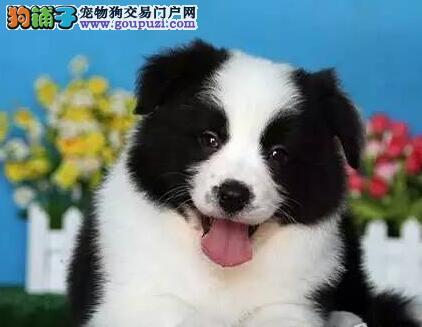 长沙cku注册犬舍出售边境牧羊犬 颜色多公母都有