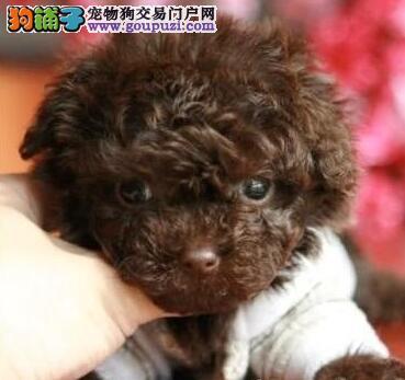 促销纯种韩系杭州贵宾犬 有问题可包邮退售后有保障