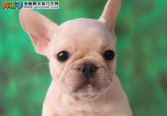 济南正规犬舍高品质法国斗牛犬带证书国际血统认证