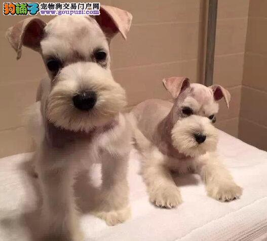 直销血统纯正的福州雪纳瑞幼犬 1~3窝幼犬任君选择