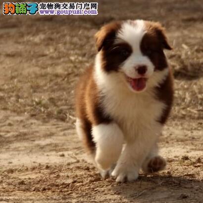 七白三通聪明的边境牧羊犬沧州购犬有优惠