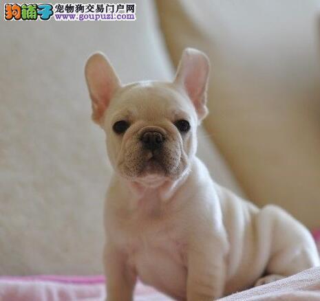 大耳朵欧系小体的合肥斗牛犬找新家 购犬可签协议