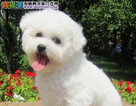 成都正规狗场出售大眼睛甜美脸型的比熊犬 非诚勿扰