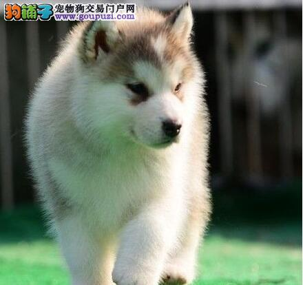 厦门正规犬舍出售哈士奇幼犬 可刷卡可以免费送货