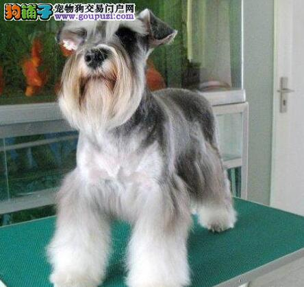 出售椒盐色纯白色雪纳瑞幼犬 昆明的朋友上门选购爱犬