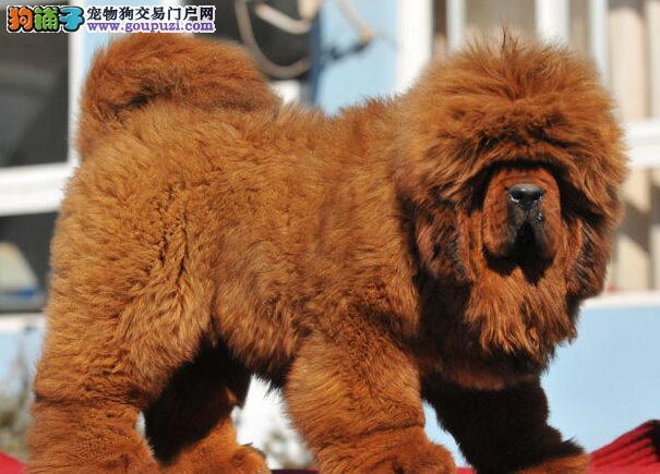广州正规獒园出售大狮子头血系的藏獒幼崽 铁头包金