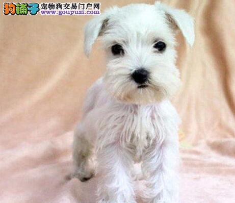 椒盐深灰色的福州雪纳瑞幼犬 签署终身的质保协议合同
