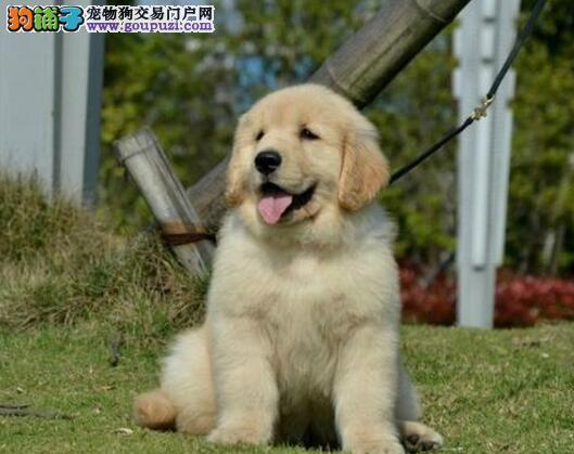 促销价格转让大骨架金毛犬 广州周边地区可免费送狗